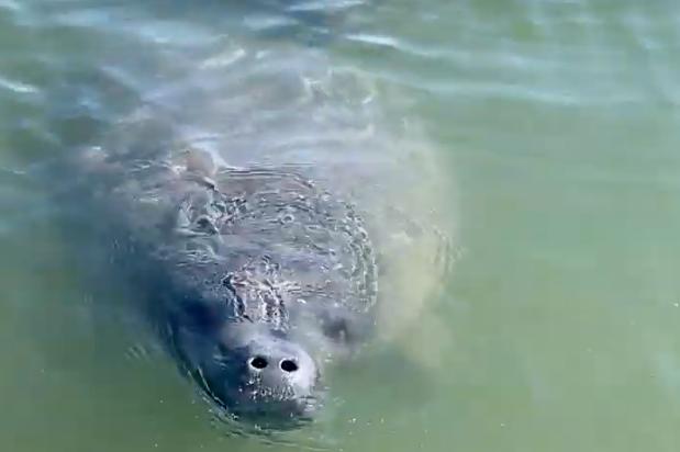 Alexander Mustard | Ocean animals, Manatee, Animals beautiful |Manatees Playing